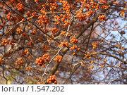 Ягоды боярышника. Стоковое фото, фотограф Дмитрий Степной / Фотобанк Лори