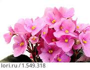 Купить «Узумбарская фиалка розовая», эксклюзивное фото № 1549318, снято 12 марта 2010 г. (c) Юрий Морозов / Фотобанк Лори