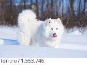 Купить «Облизывающаяся самоедская собака стоящая на снегу», фото № 1553746, снято 27 декабря 2009 г. (c) Андрей Павлов / Фотобанк Лори