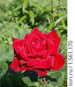 Роза красная бархатная. Стоковое фото, фотограф Елена Мумрина / Фотобанк Лори
