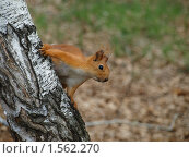 Купить «Любопытная белка», фото № 1562270, снято 16 мая 2009 г. (c) Золотовская Любовь / Фотобанк Лори