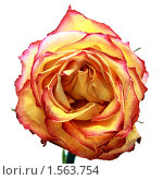Сухая роза на белом фоне. Стоковое фото, фотограф Ольга Алиева / Фотобанк Лори