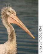 Купить «Портрет кудрявого пеликана», эксклюзивное фото № 1563854, снято 13 сентября 2009 г. (c) Щеголева Ольга / Фотобанк Лори