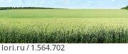 Купить «Панорама пшеничного поля», фото № 1564702, снято 31 мая 2009 г. (c) Бондарь Александр Николаевич / Фотобанк Лори