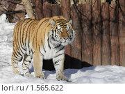 Купить «Амурский тигр», фото № 1565622, снято 11 марта 2010 г. (c) Яременко Екатерина / Фотобанк Лори