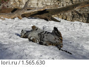 Купить «Амурский тигр», фото № 1565630, снято 11 марта 2010 г. (c) Яременко Екатерина / Фотобанк Лори