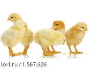 Купить «Цыплята», фото № 1567626, снято 26 апреля 2009 г. (c) Александр Паррус / Фотобанк Лори