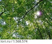 Купить «В лесу. Кроны деревьев», фото № 1568574, снято 3 июня 2009 г. (c) Бондарь Александр Николаевич / Фотобанк Лори