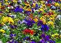 Фиалка трехцветная. Анютины глазки (Viola tricolor), эксклюзивное фото № 1569366, снято 12 мая 2008 г. (c) Алёшина Оксана / Фотобанк Лори