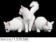 Купить «Три белых кота на черном фоне», фото № 1570586, снято 18 октября 2009 г. (c) Rumo / Фотобанк Лори
