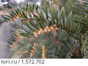 Купить «Taxus baccata, тис ягодный (или тис европейский)», фото № 1572702, снято 11 марта 2008 г. (c) Анна Мартынова / Фотобанк Лори