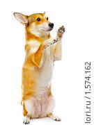 Купить «Собака», фото № 1574162, снято 13 марта 2010 г. (c) Константин Тавров / Фотобанк Лори