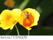 Купить «Муха-журчалка на желтом цветке», фото № 1574670, снято 12 августа 2007 г. (c) Евгений Батраков / Фотобанк Лори