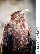 Купить «Орлан крупным планом», фото № 1574914, снято 20 марта 2010 г. (c) Евгений Захаров / Фотобанк Лори
