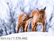 Купить «Горные козлы», фото № 1576442, снято 20 марта 2010 г. (c) Евгений Захаров / Фотобанк Лори