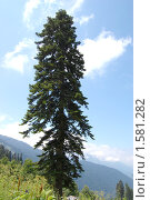 Купить «Пихта кавказская (пихта Нордманна), Abies nordmanniana», фото № 1581282, снято 26 июля 2009 г. (c) Анна Мартынова / Фотобанк Лори