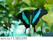 Купить «Тропическая дневная бабочка семейства Парусники (PAPILIONIDAE)», фото № 1583070, снято 25 марта 2010 г. (c) Макарова Елена / Фотобанк Лори
