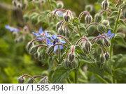 Купить «Цветущее растение. Бораго, огуречная трава.», фото № 1585494, снято 2 августа 2008 г. (c) Катыкин Сергей / Фотобанк Лори