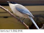 """Купить «""""Голубая сорока. Cyanopisc cyana """"», фото № 1592914, снято 30 апреля 2008 г. (c) Михаил Борсов / Фотобанк Лори"""