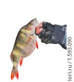Окунь речной в руке рыбака. Фрагмент. На белом фоне. Стоковое фото, фотограф Алёшина Оксана / Фотобанк Лори