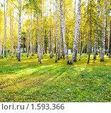 Купить «Березовая роща», фото № 1593366, снято 30 сентября 2009 г. (c) Валерия Потапова / Фотобанк Лори