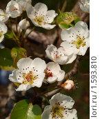 Весна. Цветение яблони. Стоковое фото, фотограф Денис Шашкин / Фотобанк Лори