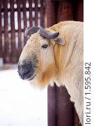 Купить «Сычуаньский такин», фото № 1595842, снято 20 марта 2010 г. (c) Сергей Лаврентьев / Фотобанк Лори