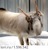 Купить «Сайгак (Saiga tatarica)», фото № 1596542, снято 26 декабря 2008 г. (c) Михаил Борсов / Фотобанк Лори