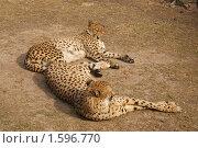 Купить «Гепарды в Московском зоопарке (лат. Acinonyx jubatus)», фото № 1596770, снято 29 марта 2010 г. (c) Валерия Попова / Фотобанк Лори