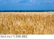 Купить «Пшеничное поле», фото № 1596882, снято 20 июля 2008 г. (c) Черников Роман / Фотобанк Лори