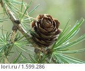 Купить «Шишка лиственницы», фото № 1599286, снято 3 октября 2005 г. (c) Сергей Бехтерев / Фотобанк Лори