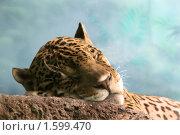 Купить «Сон ягуара», эксклюзивное фото № 1599470, снято 27 марта 2010 г. (c) Щеголева Ольга / Фотобанк Лори