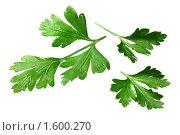 Купить «Зеленые листья петрушки», фото № 1600270, снято 7 августа 2009 г. (c) ElenArt / Фотобанк Лори