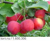Купить «Яблоки сорта Горноалтайское на ветке», фото № 1600306, снято 20 сентября 2019 г. (c) Ольга Вьюшкова / Фотобанк Лори