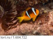 Купить «Рыба-клоун и Анемоны (Актиния) - Двухполосый амфиприон (Amphiprion bicinctus) - Красное море, Синай, Египет», фото № 1604722, снято 21 августа 2018 г. (c) Виктор Савушкин / Фотобанк Лори