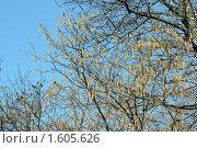 Купить «Лещина цветет», фото № 1605626, снято 4 апреля 2010 г. (c) Качанов Владимир / Фотобанк Лори
