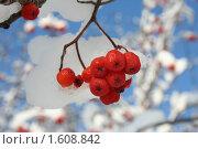 Ягода рябины зимой. Стоковое фото, фотограф Станислав Горбачев / Фотобанк Лори
