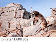 Купить «Винторогий козел», фото № 1608862, снято 28 марта 2010 г. (c) Евгений Захаров / Фотобанк Лори