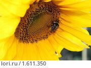 Купить «Шмель в подсолнухе», фото № 1611350, снято 22 августа 2009 г. (c) Хайрятдинов Ринат / Фотобанк Лори