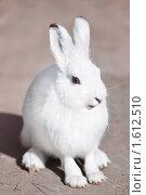 Купить «Заяц-беляк, крупный план. Lepus timidus», фото № 1612510, снято 3 апреля 2010 г. (c) Евгений Захаров / Фотобанк Лори