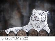 Купить «Бенгальский тигр», фото № 1612522, снято 20 марта 2010 г. (c) Евгений Захаров / Фотобанк Лори