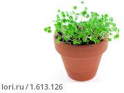Купить «Зеленые ростки в керамическом горшочке», фото № 1613126, снято 23 марта 2010 г. (c) Анастасия Золотницкая / Фотобанк Лори