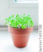 Купить «Зеленые ростки в керамическом горшочке», фото № 1613130, снято 23 марта 2010 г. (c) Анастасия Золотницкая / Фотобанк Лори