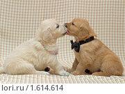 Купить «Поцелуй. Щенки голден ретривера», фото № 1614614, снято 23 августа 2006 г. (c) Максим Ковшов / Фотобанк Лори