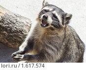 Купить «Енот-полоскун», фото № 1617574, снято 23 июня 2009 г. (c) Parmenov Pavel / Фотобанк Лори