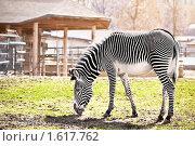 Купить «Зебра», фото № 1617762, снято 28 марта 2010 г. (c) Евгений Захаров / Фотобанк Лори