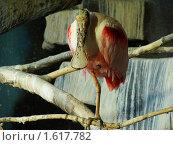 Розовая колпица. Стоковое фото, фотограф sfsfs / Фотобанк Лори