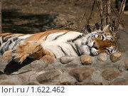 Купить «Тигр отдыхает», эксклюзивное фото № 1622462, снято 10 апреля 2010 г. (c) Щеголева Ольга / Фотобанк Лори