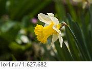 Купить «Нарцисс (лат. Narcissus)», фото № 1627682, снято 11 апреля 2010 г. (c) Решетило Александр / Фотобанк Лори