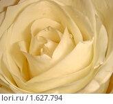 Белая роза. Стоковое фото, фотограф Юлия Владимирова / Фотобанк Лори